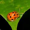 Tortoise Beetles, Cassidinae, Chrysomelidae<br /> 1958, Bako National Park, Sarawak, East Malaysia, April 15, 2016