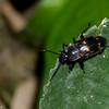 Micrencaustes  sp. Encaustini, Erotylidae<br /> 2960, Gunung Mulu National Park, Sarawak, East Malaysia, April 20, 2016
