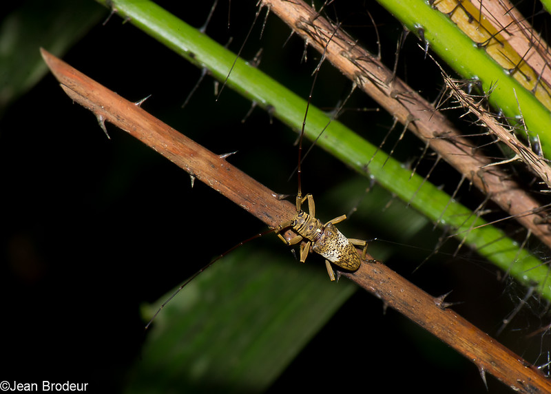 Nephelotus conspersus, Lamiini, Cerambycidae<br /> 2943, Gunung Mulu National Park, Sarawak, East Malaysia, April 20, 2016