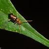 Chrysomelidae sp. Malaysian Leaf Beetle<br /> 2726, Gunung Mulu National Park, Sarawak, East Malaysia, April 19, 2016