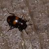 Erotylidae sp. Fungus beetle<br /> 2219, Kubah National Park, Sarawak, East Malaysia, April 17, 2016
