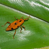 Dryophthorinae sp. Curculionidae<br /> 3382, Miri, Sarawak, East Malaysia, April 22, 2016
