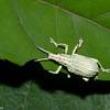 Curculionidae sp.<br /> 0484, Cameron Highlands, Pahang, West Malaysia, April 7, 2016