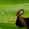 Chrysomelidae  sp. Malaysian Leaf Beetle<br /> 2757, Gunung Mulu National Park, Sarawak, East Malaysia, April 19, 2016