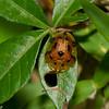 Laccoptera nepalensis, Aspidimorphini, Cassidinae, Chrysomelidae , Leaf beetles<br /> 0867, Cameron Highlands, Pahang, West Malaysia, April 8, 2016