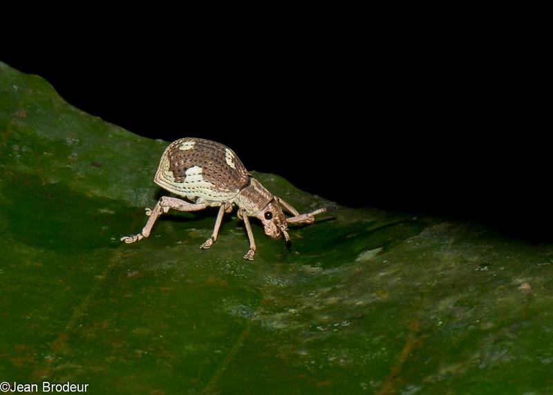 Curculionidae sp.<br /> 2151, Kubah National Park, Sarawak, East Malaysia, April 16, 2016
