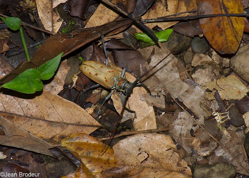 Batocera victoriana, Lamiinae, Cerambycidae<br /> 2935, Gunung Mulu National Park, Sarawak, East Malaysia, April 20, 2016