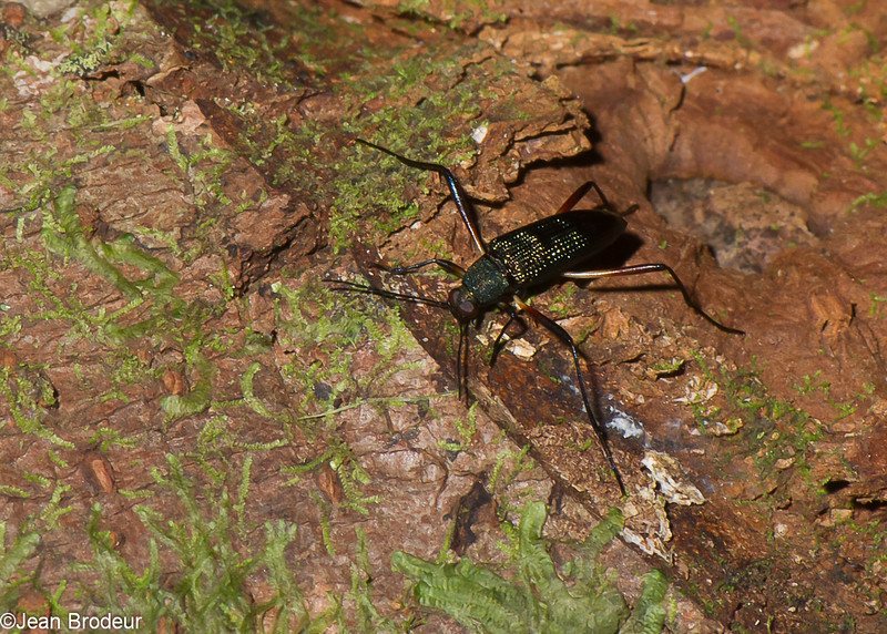Strongylium tenuipes, Stenochiinae, Tenebrionidae, Darkling Beetle<br /> 1815, Bako National Park, Sarawak, East Malaysia, April 14, 2016