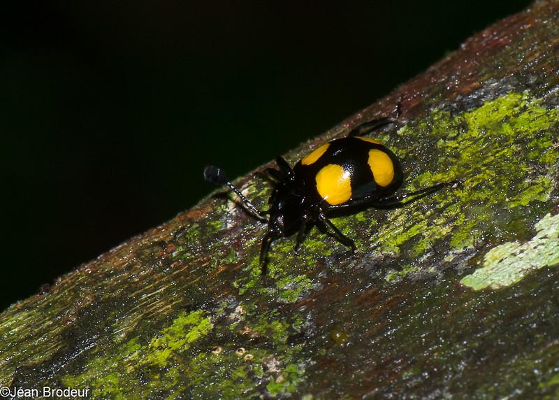 Eumorphus sp.  Handsome Fungus Beetle, Lycoperdininae, Endomychidae<br /> 3128, Gunung Mulu National Park, Sarawak, East Malaysia, April 21, 2016