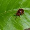 Stenotarsus pardalis, Ladybird Mimicking Beetle, Endomychidae<br /> 2547, Gunung Mulu National Park, Sarawak, East Malaysia, April 19, 2016