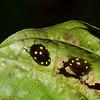 Erotylidae sp. Fungus beetle<br /> 2865, Gunung Mulu National Park, Sarawak, East Malaysia, April 20, 2016