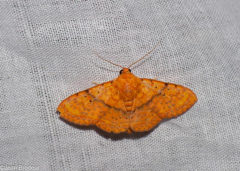 Homodes crocea, Boletobiinae, Erebidae<br /> 0552, Cameron Highlands, Pahang, West Malaysia, April 7, 2016
