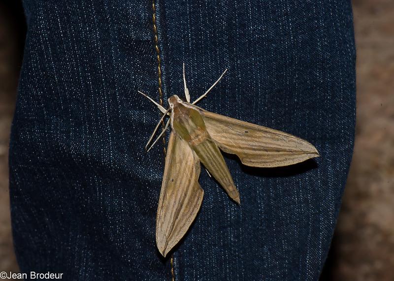 Cechenena lineosa, Macroglossinae, Sphingidae<br /> 1064, Cameron Highlands, Pahang, West Malaysia, April 8, 2016