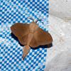 Lasiocampidae sp.<br /> 0692, Cameron Highlands, Pahang, West Malaysia, April 7, 2016