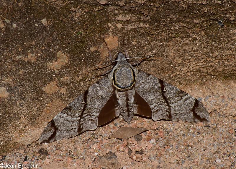 Meganoton analis , Sphinginae, Sphingidae<br /> 1085, Cameron Highlands, Pahang, West Malaysia, April 8, 2016