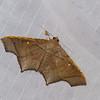 Episparis costistriga, Pangraptinae, Erebidae<br /> 0954, Cameron Highlands, Pahang, West Malaysia, April 8, 2016