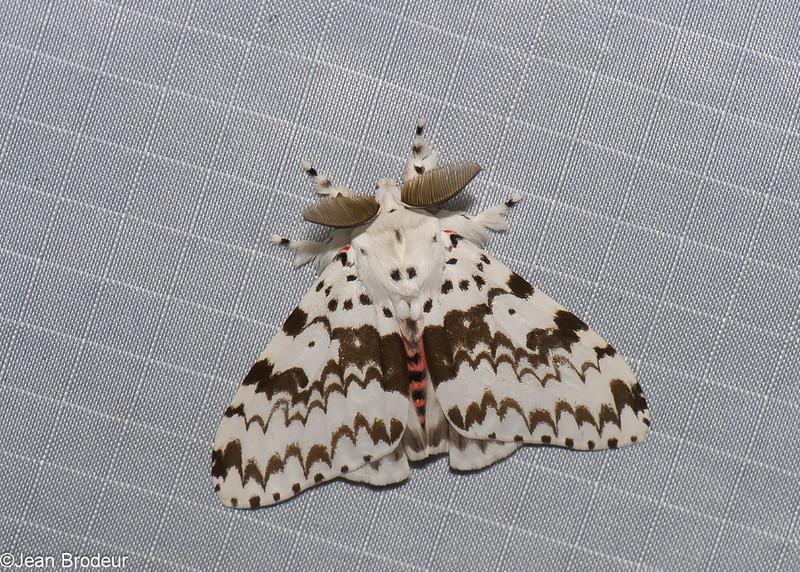 Lymantria brunneiplaga male, Lymantriinae, Noctuidae<br /> 1090, Cameron Highlands, Pahang, West Malaysia, April 8, 2016