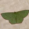 Ornithospila sp. Geometridae<br /> 2015, Kubah National Park, Sarawak, East Malaysia, April 16, 2016