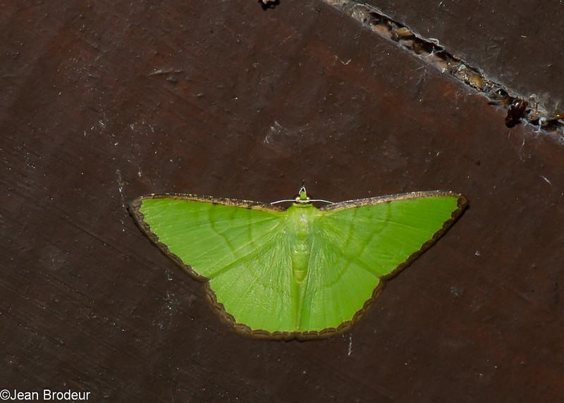 Ornithospila cincta, Geometridae<br /> 2223, Kubah National Park, Sarawak, East Malaysia, April 17, 2016