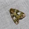 Noctuinae sp. <br /> 0638, Cameron Highlands, Pahang, West Malaysia, April 7, 2016