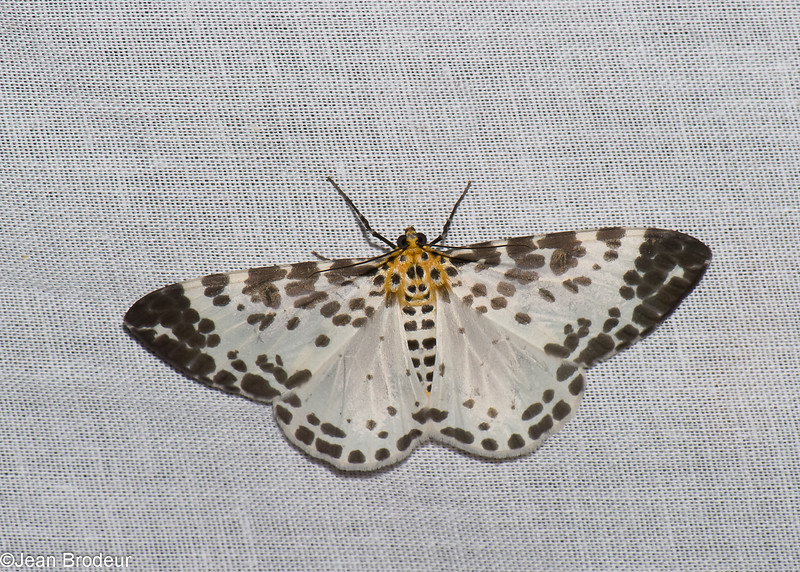 Dilophodes sp, Boarmiini, Ennominae, Geometridae<br /> 0682, Cameron Highlands, Pahang, West Malaysia, April 7, 2016