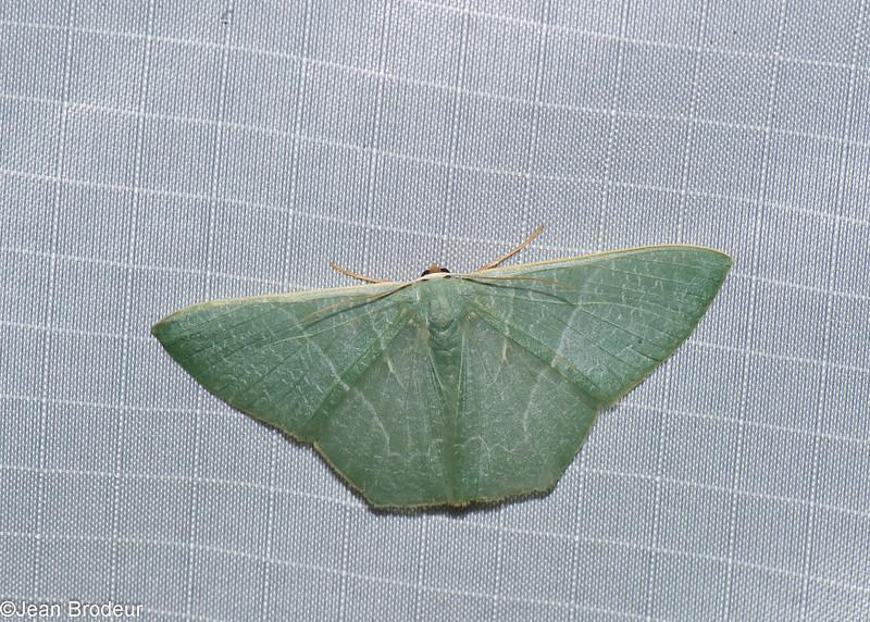 Pelagodes sp. Thalassodini, Geometridae<br /> 0699, Cameron Highlands, Pahang, West Malaysia, April 7, 2016