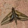 Elibia dolichus, Macroglossinae, Sphingidae<br /> 1081, Cameron Highlands, Pahang, West Malaysia, April 8, 2016
