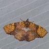 Tamba euryodia, Boletobiinae, Erebidae<br /> 0943, Cameron Highlands, Pahang, West Malaysia, April 8, 2016