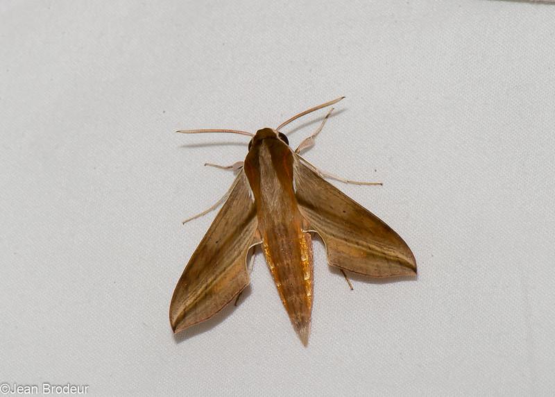 Hippotion rosetta, Macroglossinae, Sphingidae<br /> 3432, Niah National Park, Miri, Sarawak, East Malaysia, April 23, 2016