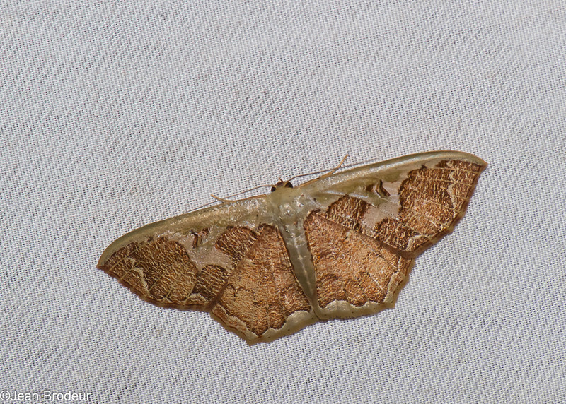 Zythos turbata, Scopulini, Sterrhinae, Geometridae<br /> 0992, Cameron Highlands, Pahang, West Malaysia, April 8, 2016