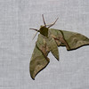 Callambulyx rubricosa, Smerinthini, Sphingidae<br /> 0582, Cameron Highlands, Pahang, West Malaysia, April 7, 2016