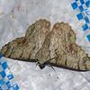 Pingasa sp. Looper Moth, Pseudoterpnini, Geometridae<br /> 0801, Cameron Highlands, Pahang, West Malaysia, April 7, 2016