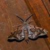 Hypochrosis binexata Ennominae, Geomertidae<br /> 2211, Kubah National Park, Sarawak, East Malaysia, April 17, 2016