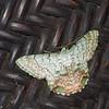 Pingasa ruginaria , Looper Moth, Pseudoterpnini, Geometridae<br /> 3142, Gunung Mulu National Park, Sarawak, East Malaysia, April 21, 2016