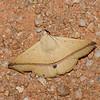 Armana nigraericta, Catocalinae, Erebidae<br /> 0561, Cameron Highlands, Pahang, West Malaysia, April 7, 2016