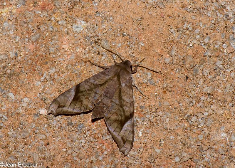 Acosmeryx sp.  Macroglossinae, Sphingidae<br /> 0963, Cameron Highlands, Pahang, West Malaysia, April 8, 2016