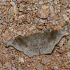 Hyposidra sp. Boarmiini, Ennominae, Geometridae<br /> 1096, Cameron Highlands, Pahang, West Malaysia, April 8, 2016