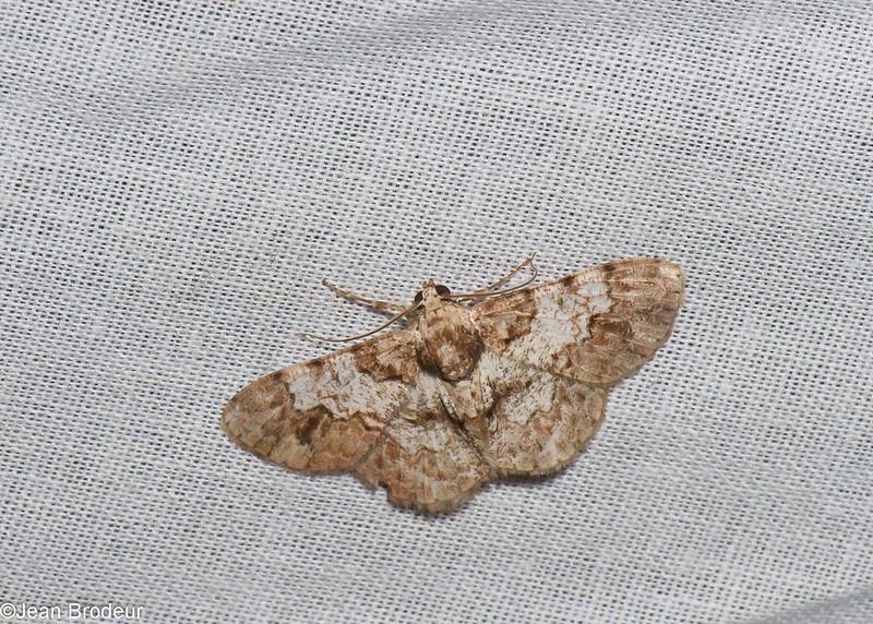 Diplurodes sp. Ennominae, Geometridae<br /> 0597, Cameron Highlands, Pahang, West Malaysia, April 7, 2016