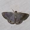 Tasta montana, Baptini, Ennominae, Geometridae<br /> 1008, Cameron Highlands, Pahang, West Malaysia, April 8, 2016