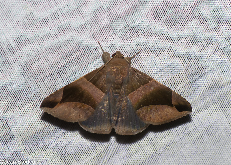 Bastilla sp. Ophiusini, Erebidae<br /> 0785, Cameron Highlands, Pahang, West Malaysia, April 7, 2016
