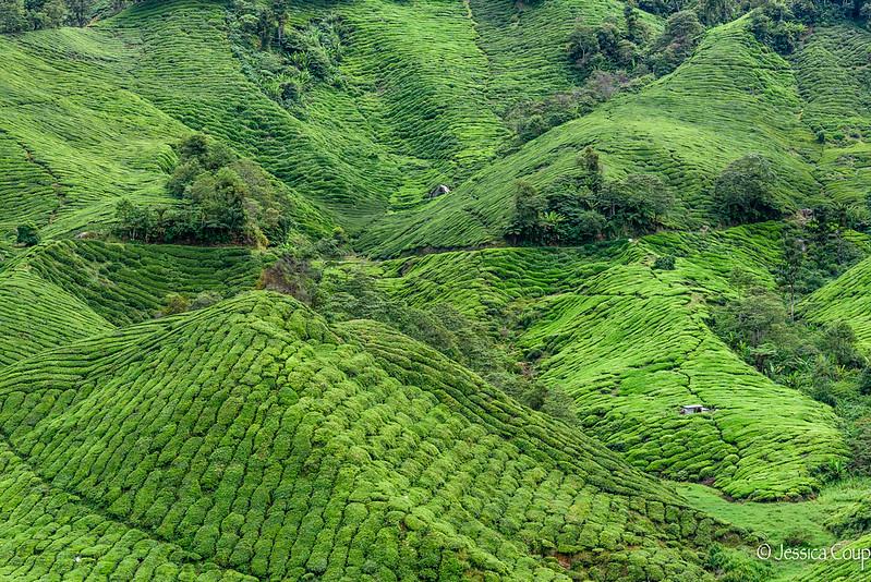 Hills of Black Tea