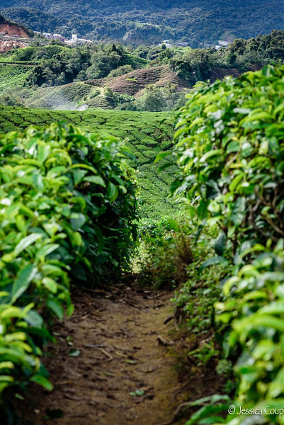 Through the Aisle of Tea