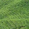 Carpet of Tea