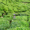 Hand Picking the Tea Leaves
