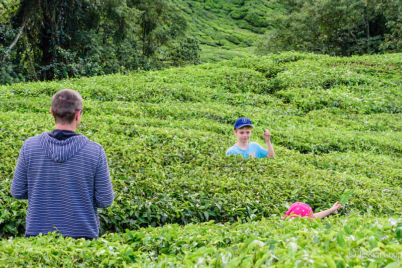 Playing in the Maze of Tea Plants