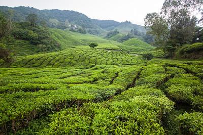 Boh Tea plantation. Cameron Highlands, Malaysia