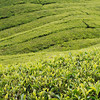 Boh Sungei Palas Tea Plantation