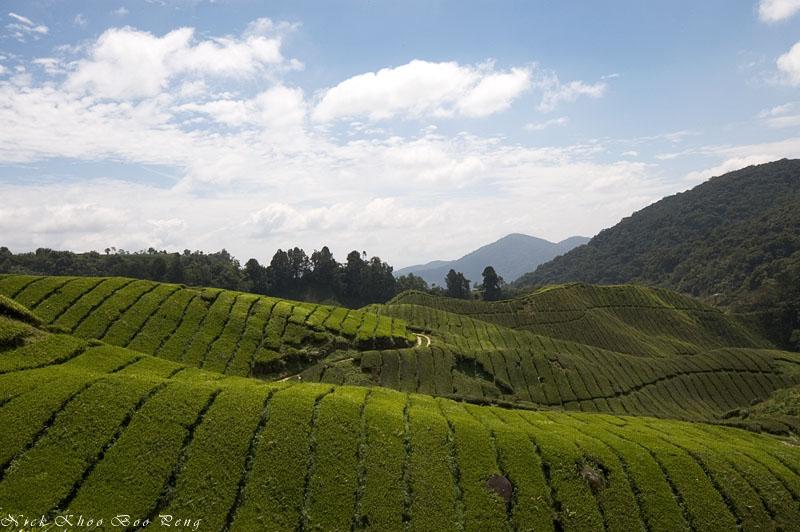 Boh's Sg. Palas Tea plantation, Cameron Highlands
