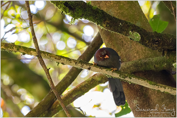Chestnut-hooded Laughingthrush… listening attentively