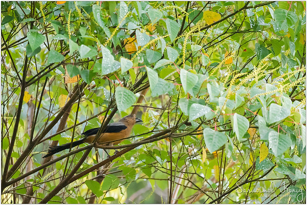 Bornean Treepie in the forest